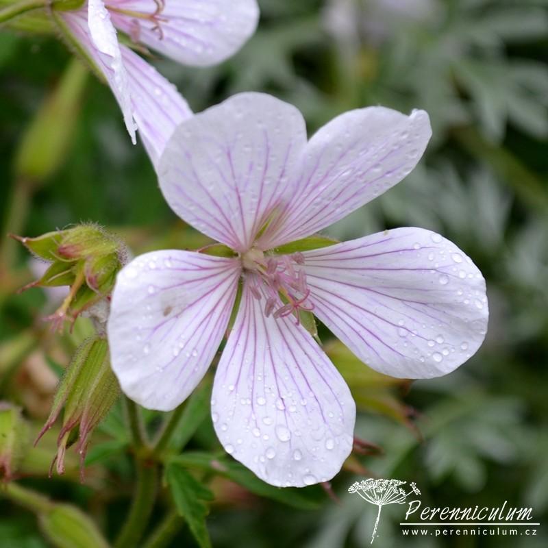 Geranium clarkei