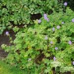 Geranium himalayense Gravetye