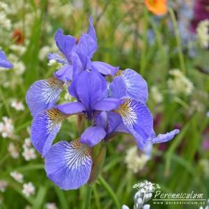 Iris sibirica Tropical Night