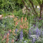 Verbascum Cotswold Beauty