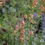 Verbascum Cotswold Beauty