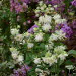 Aquilegia vulgaris var. stellata White Barlow
