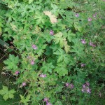 Geranium x oxonianum f. thurstonianum