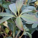 Helleborus niger Joshua
