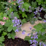 Nepeta racemosa Walker's Low