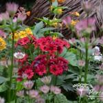 Primula japonica Miller's Crimson