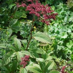 Rodgersia pinnata Chocolate Wing