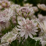 Astrantia major Pink Sensation