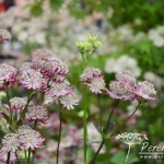 Astrantia major Rubra