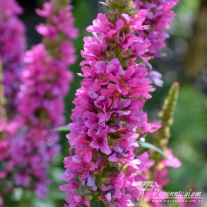 Lythrum salicaria Feuerkerze