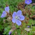 Geranium pratense Mrs Kendall Clark