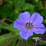 Geranium wallichianum Buxton's Variety