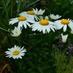 Leucanthemum x superbum Snowcap