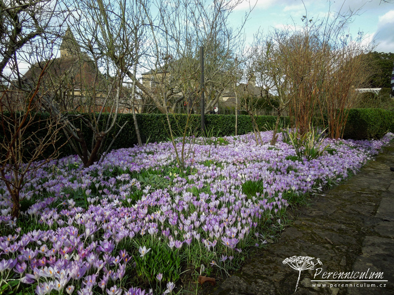 The Courts, krokusy, Crocus tommasinianus