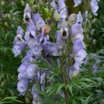 Aconitum Stainless Steel