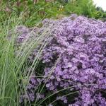Aster Praire Purple