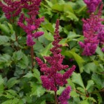 Astilbe chinensis var. taquetii Vision in Red
