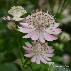Astrantia major Rosea