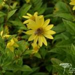 Helianthus Lemon Queen