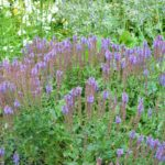 Salvia nemorosa Blauhugel