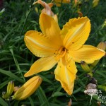 Hemerocallis Cartwheels