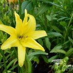 Hemerocallis Giant Moon