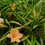 Hemerocallis Pretty Miss