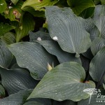 Hosta Devon Blue