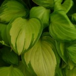 Hosta Emerald Tiara
