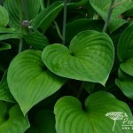 Hosta Fortunei Obscura