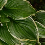 Hosta Iron Gate Glamour