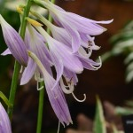 Hosta Stiletto