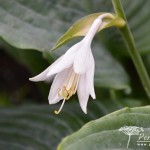 Hosta True Blue