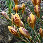 Crocus chrysanthus Gypsy Girl