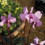 Cyclamen alpinum