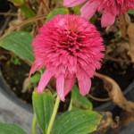 Echinacea Piccolino