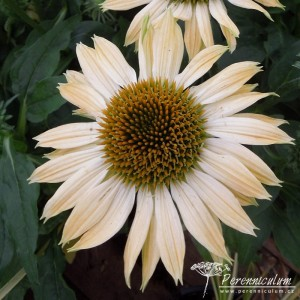 Echinacea Sombrero Sandy Yellow