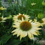 Echinacea Sombrero Sandy Yellow