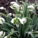 Galanthus nivalis Blewbury Tart