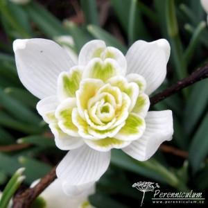 Galanthus nivalis Lady ElphinstoneGalanthus nivalis Lady Elphinstone