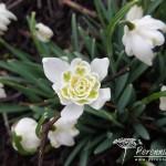 Galanthus nivalis Lady Elphinstone