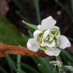 Galanthus nivalis Pussey Green Tips