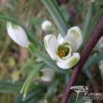 Galanthus nivalis Viridapice