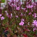 Gaura Lillipop Pink
