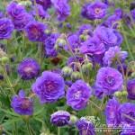 Geranium pratense Plenum Violaceum