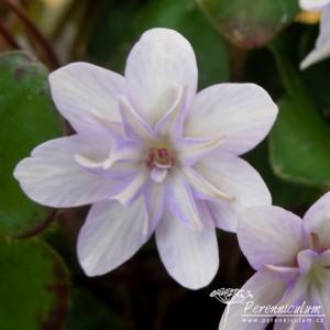 Hepatica nobilis var japonica Saichou