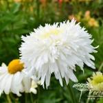 Leucanthemum x superbum Fiona Coghill