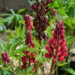 Lupinus Rote Flamme