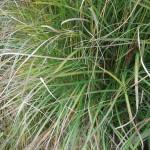 Miscanthus sinensis Undine