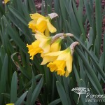 Narcissus Rijnveld's Early Sensation